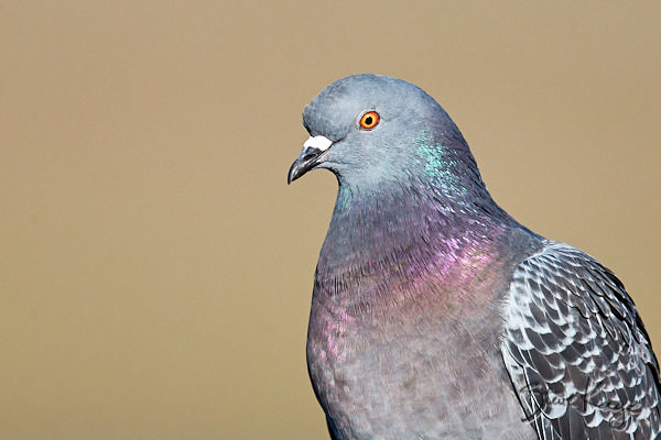 Rock Pigeon, © Photo by Steve Kaye
