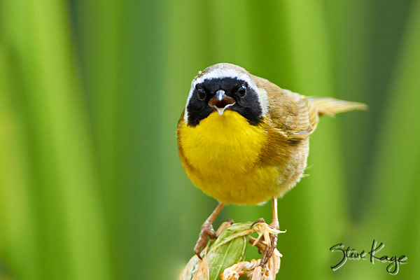 "Common Yellowthroat, Male, © Photo by Steve Kaye, in blog post ""Connection With Life"""
