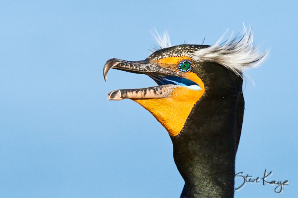 Double-crested Cormorant, © Photo by Steve Kaye, in blog post: Gular Fluttering Is for the Birds