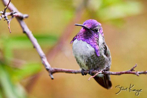 "Costa's Hummingbird, Male, (c) Photo by Steve Kaye, in Blog Post: ""Odd Part of Bird Photography"""