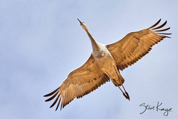 Sandhill Crane, © Photo by Steve Kaye