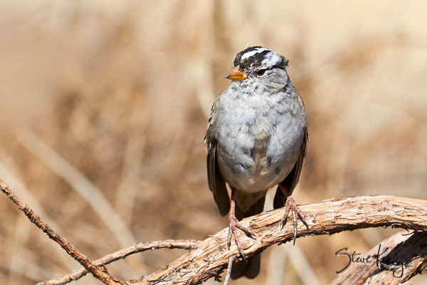 """White-crowned Sparrow, © Photo by Steve Kaye, in Blog Post """"Ordinary Courage"""""""