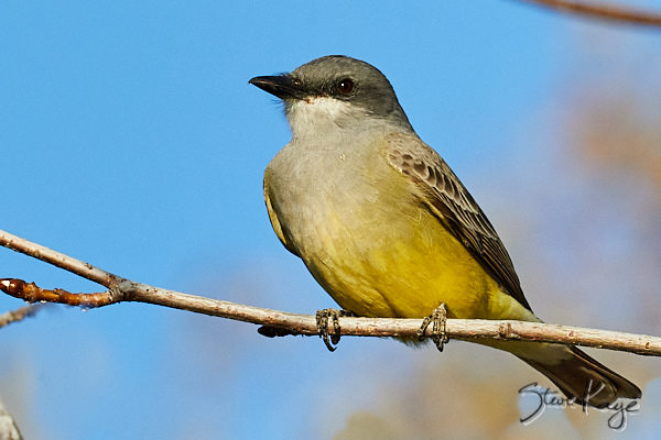 "Cassin's Kingbird, © Photo by Steve Kaye, in Blog Post: ""Visit Your Local Park"""