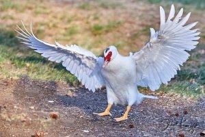 Muscovy Duck (Domestic), © Photo by Steve Kaye