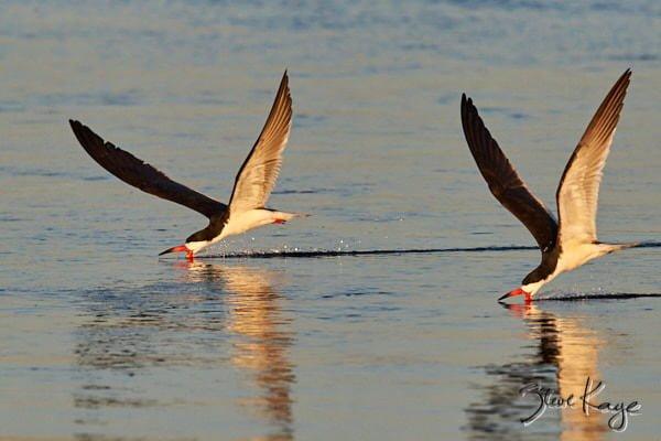 Black Skimmer, © Photo by Steve Kaye, in article: Endangered Birds