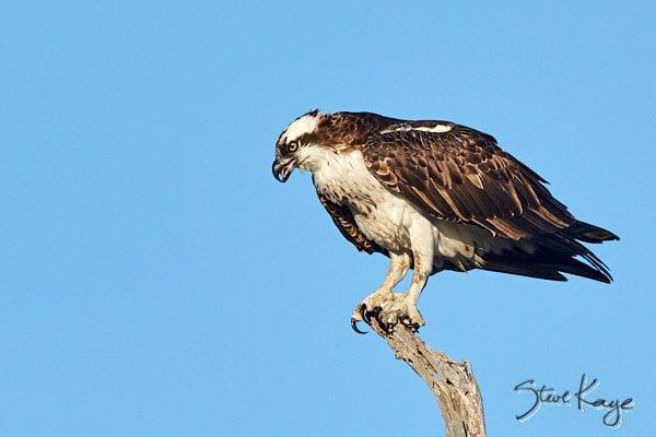 Osprey, © Photo by Steve Kaye, in Article: Endangered Birds