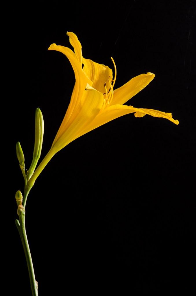 fleur jaune macro