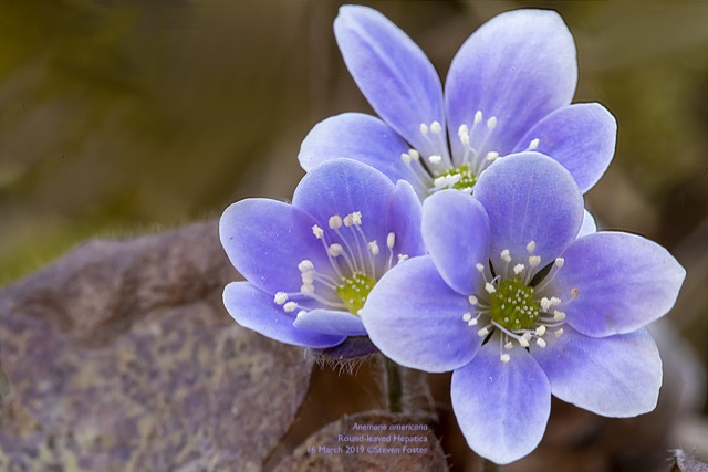 Images and information on Liverleaf, Hepatica americana.