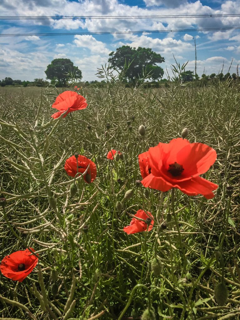 North Yorkshire Poppy Field 3