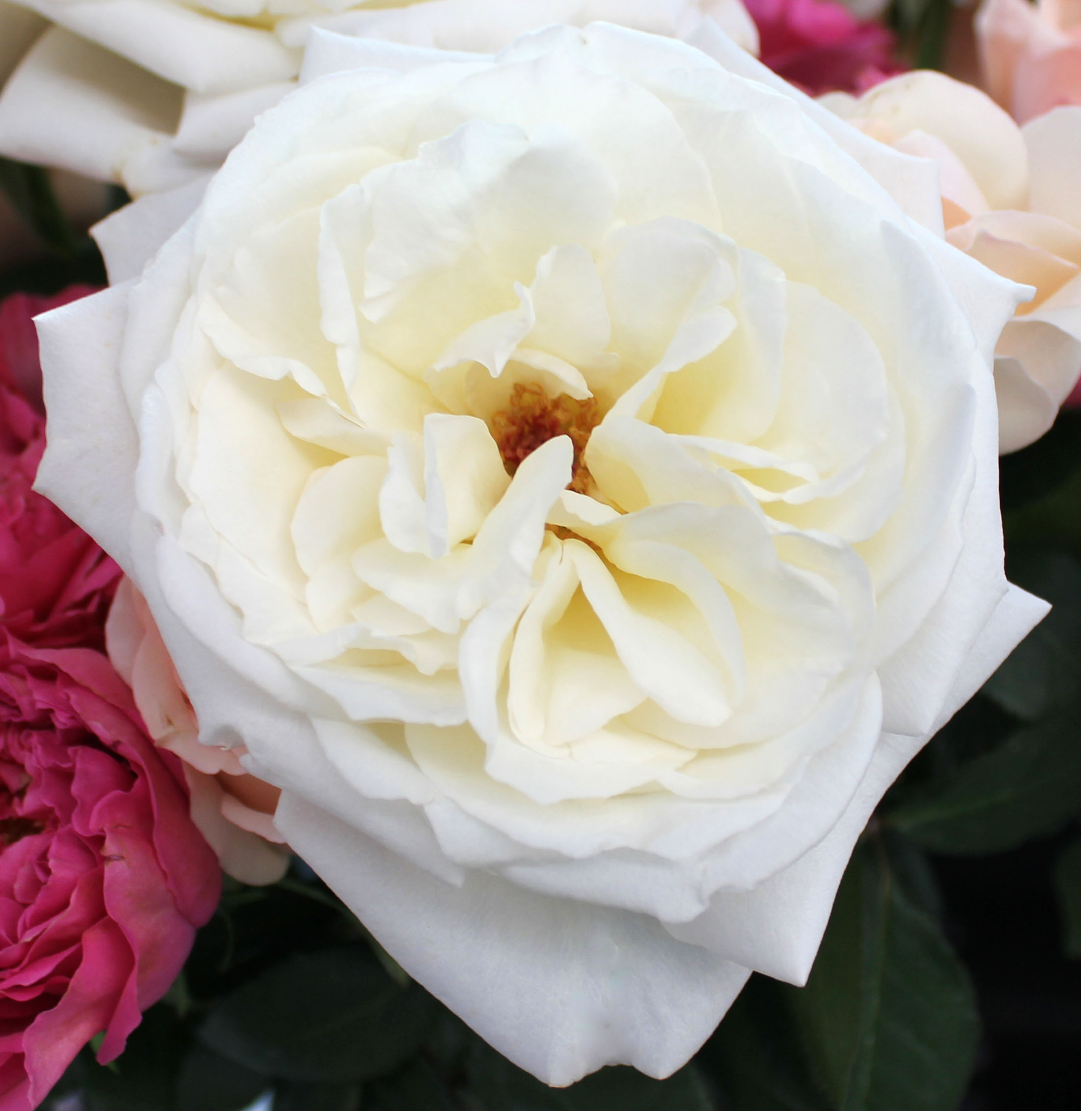 Garden Roses Stevens And Son Wholesale Florist