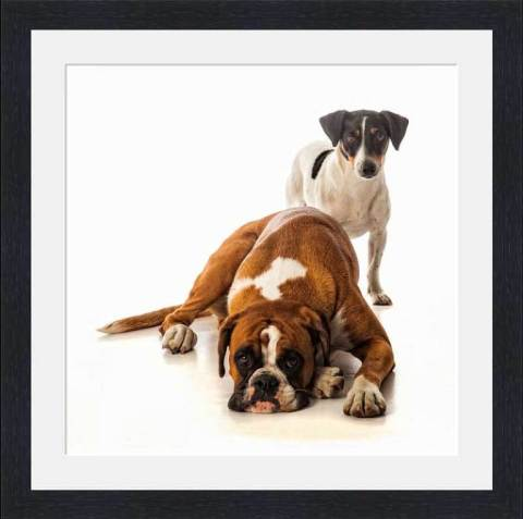 Boxer and Jack Russell portraits