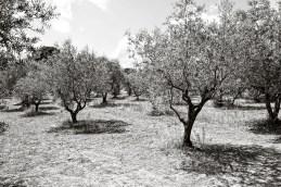 Olive trees, Lourmarin, France.
