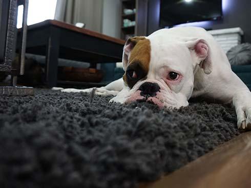 Pet-oders-in-carpet