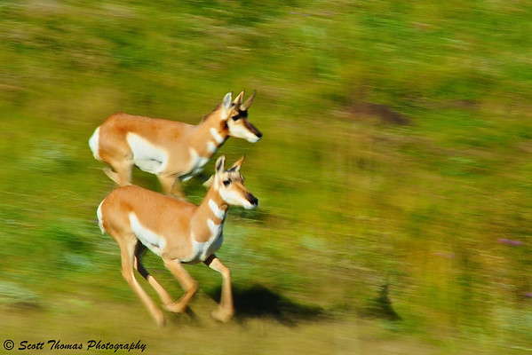 A pair of Pronghorns race across the South Dakota grassland.