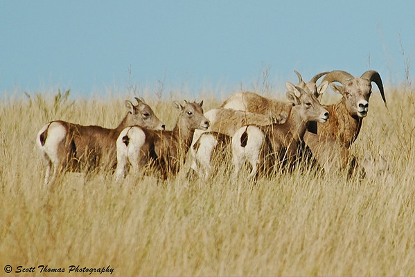 The large Bighorn Ram looks me over as he protects his group of Ewes.