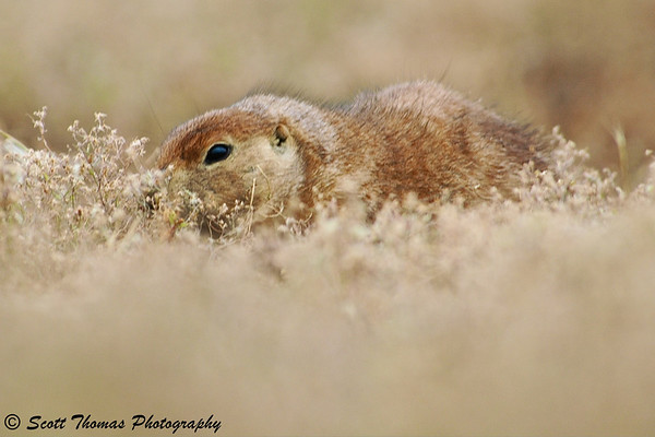 A prairie dog peaking out from his burrow at the Theodore Roosevelt National Park.