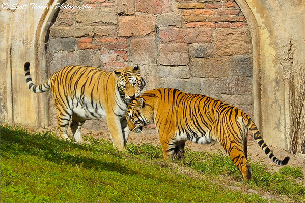 A pari of Asian tigers in Disney's Animal Kingdom share a tender moment.