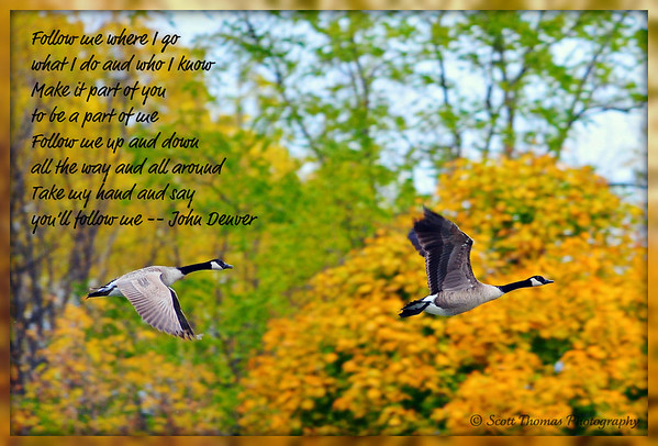 Canad Geese flying over Webster Pond near Syracuse, New York.