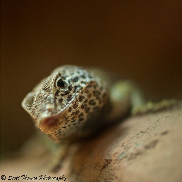 Mojave Black-collared Lizard (Crotaphytus bicinctores) at the Rosamond Gifford Zoo in Syracuse, New York.