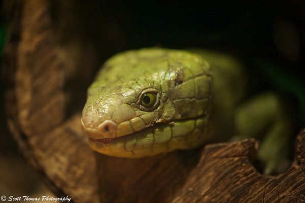 Prehensile-tailed Skink at the Rosamond Gifford Zoo in Syracuse, New York.