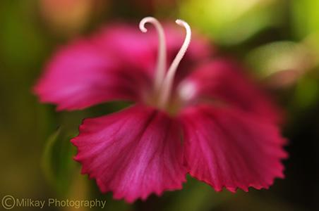 """""""Smitten"""" (Dianthus Flower)"""