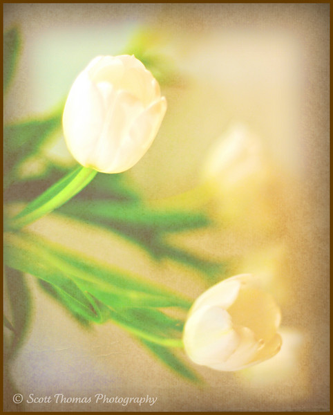 White tulips on a table.