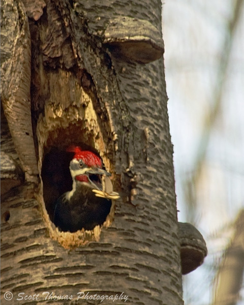A male Pileated Woodpecker throws out wood chips from the nesting cavity in the dead yellow birch tree.