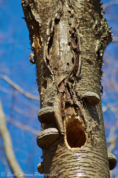 A hole in a dead yellow birch tree.