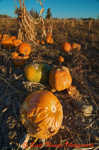 Rotting pumpkins left in a field near Baldwinsville, New York in November.