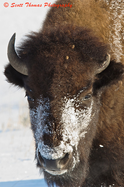 A cold portrait of an American Bison.  The snow mask and condensed breath of this bison gives you some indication as to the cold weather which didn't seem to bother them at all.