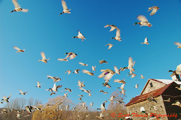Ducks fill the sky over Webster Pond in Syracuse, New York, after being startled by a visitor to the park.