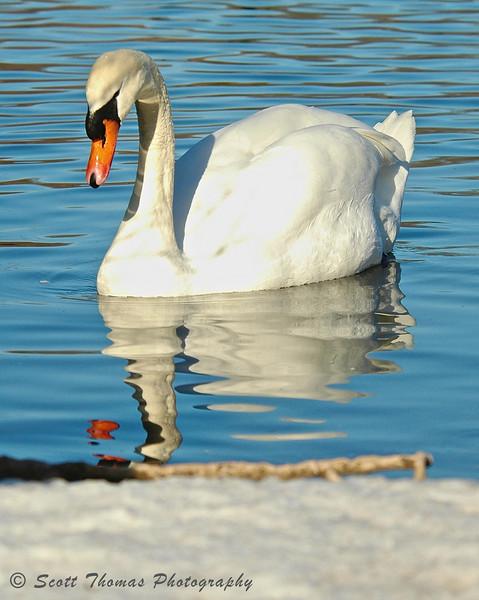 Swan on Webster Pond.