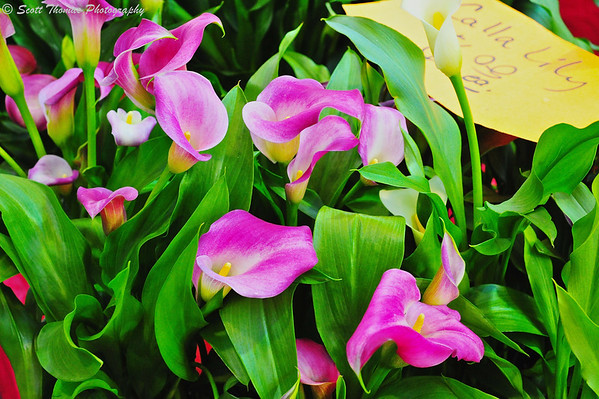 Colorful lilies ready to bring color to one's home at the Central New York Regional Market.