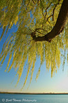 Click to read Weeping Willow