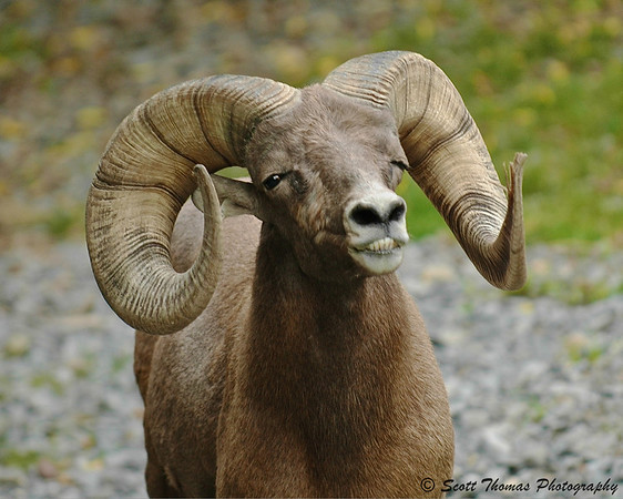"A Bighorn Ram ""smiles"" after his confrontation with another ram at the Rosamond Gifford Zoo in Syracuse, New York."