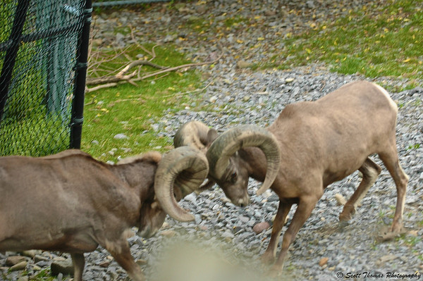 Two Bighorn Rams collide horns at the Rosamond Gifford Zoo in Syracuse, New York.