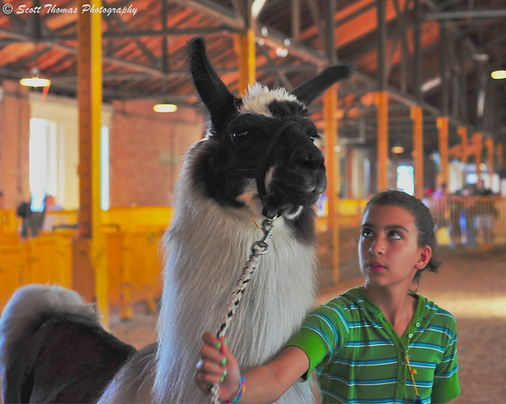 A curious llama and his handler stop to check out my camera at the New York State Fair.
