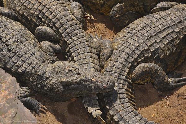 Nile crocodiles sunning themselves below one of the rope bridges on the Wild Africa Trek in Disney's Animal Kingdom.