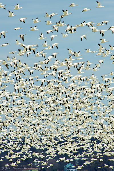 Snow Geese over Cayuga Lake near Seneca Falls, New York.