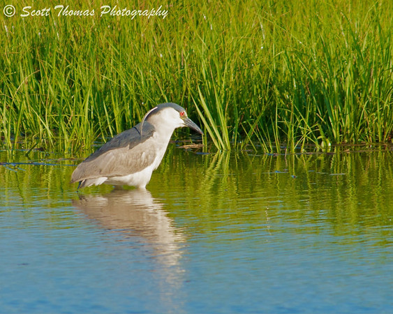 Black-crowned Night Heron (Nycticorax nycticorax) in the Forsythe National Wildlife Refuge near Absecon, New Jersey.