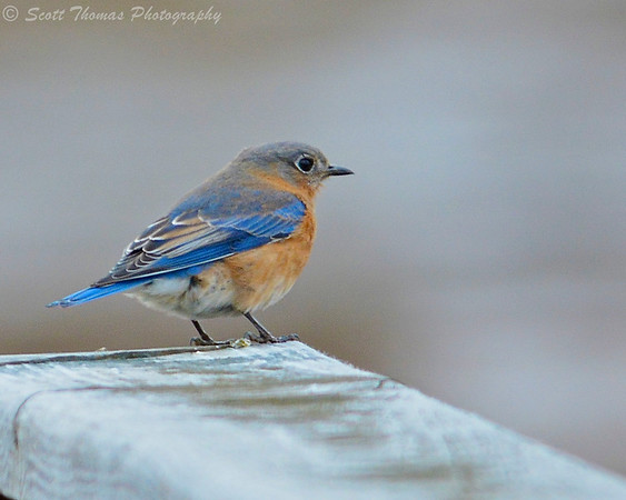 Female Eastern Bluebird (Sialia sialis) at the Montezuma National Wildlife Refuge near Seneca Falls, New York.