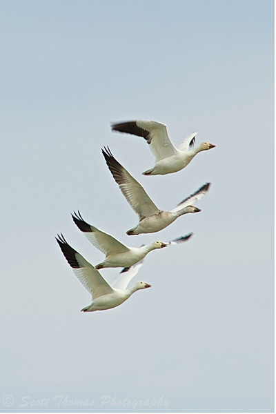 A quartet of Snow Geese flying over Cayuga Lake near Seneca Falls, New York.