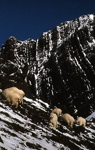 Rocky Mountain Goats in the Olympic Mountains.