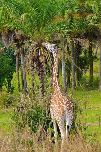 Reticulated giraffe using his height to grab a bite on the Wild Africa Trek in Disney's Animal Kingdom.