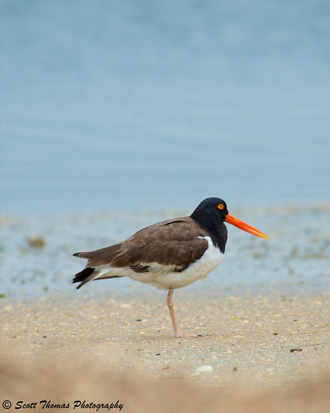 Oystercatcher on the beach at Forsythe National Wildlife Refuge.