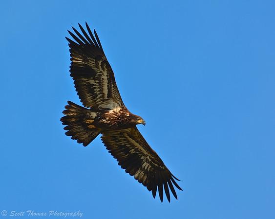 Immature Bald Eagle (Haliaeetus leucocephalus) soaring over the Montezuma National Wildlife Refuge near Seneca Falls, New York.