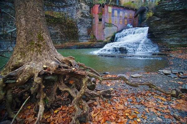 American Sycamore roots along Six Mile Creek below Wells Falls in Ithaca, New York.