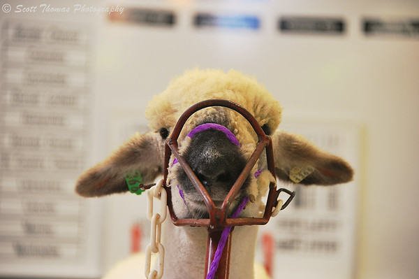 Sheep harnessed up in preparation of getting sheered at The Great New York State Fair in Syracuse, New York  on Saturday, August 23, 2014.