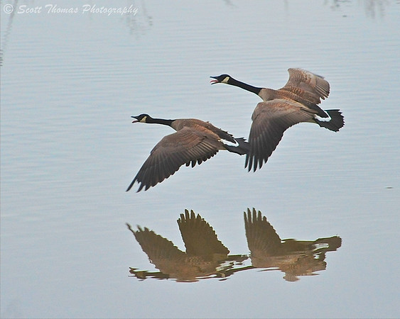 A pair of Canada Geese make their presence known as they fly over the Montezuma National Wildlife Refuge.