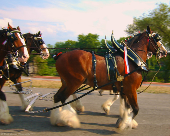 Budweiser Clydesdales moving along the shore of the Seneca River in Baldwinsville, New York.